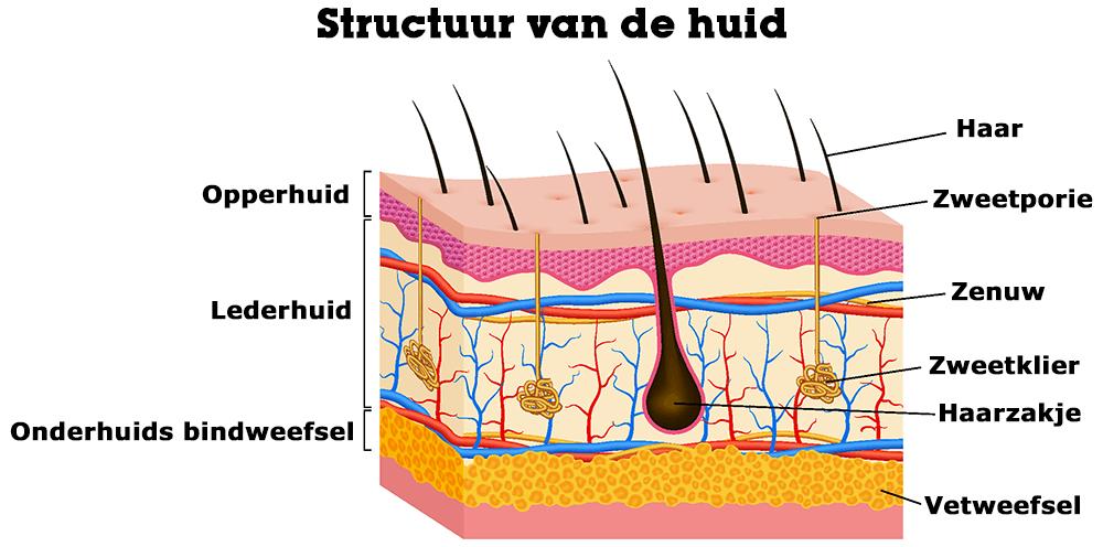 Structuur van de huid