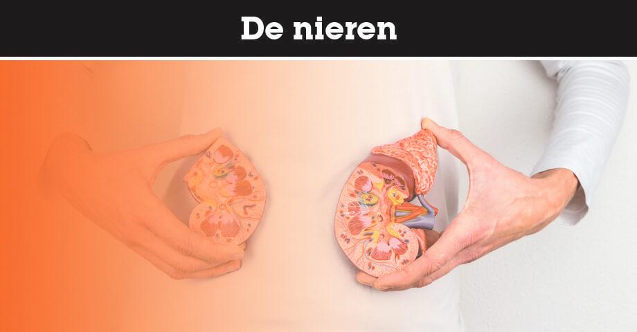 Alles over de nieren